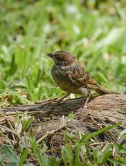 His eye is on the sparrow (Robert-Ang) Tags: sparrow animal bird singapore eurasiantreesparrow passermontanus animalplanet