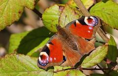 Peacock - Arundel  WWT West Sussex - 100417 (5) (ailognom2005) Tags: butterflies butterfliesmothsandcaterpillars butterfliescaterpillars uk britishwildlife peacock arundel wwt wildfowlwetlandstrust naturalhistory macro