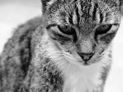 De que raza es Morris? (MaPeV) Tags: morris bellolindoguapetón gatos cats chats kawaii felin neko gatti gattini gattoni tabby chat katze gato kitty tabbyspoted powershot canon g16 blanco y negro bn