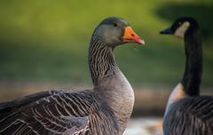 What you looking at? (Coisroux) Tags: ducks mallard beak wildlife birdlife lakeside hamptonvale feathers 300mm depthoffield nikond d5500 pond grass grazing eating comical