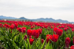 CZ0C5707 (Rohan Mhatre) Tags: 5dmarkii america canon colorphotoaward explore explored northwest scenery seattle usa view washington tulip festival skagit valley flowers nature state 2017 searchthebest supershot landscape field outdoor grass plant