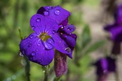 Aubriéte_5895-1 (lucbarre) Tags: fleur fleurs flower flowers jardin gardin couleurs pétales extérieur exterior