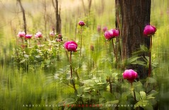 "And little by little with the new spring appeared peonies in the forest // Y poco a poco con la nueva primavera fueron apareciendo las peonías en el bosque (ANDROS images) Tags: andros images photos fotos fotoandros ""androsphoto"" ""fotoandros"" lugares places ""sitiosespeciales"" ""franciscodomínguez"" interesante naturaleza ""naturalezaviva"" ""amoralanaturaleza"" ""imágenesdenuestromundo"" ""sólotenemosunatierra"" ""planetatierra"" ""amarlatierra"" ""cuidemoslatierra"" luz color tonos ""portierrasespañolas"" ""nuestro ""unahermosatierra"" ""reflejosdeluz"" pasión viviendo ""pasiónporlafotografía"" miradas fotografías ""atravésdelobjetivo"" ""elmundoenimágenes"" pictures androsphoto photoandrosplaces placesspecialsites interesting differentnaturelivingnature loveofnature imagesofourworld weonlyhaveoneearthplanetearth foracleanworldlovetheearth carefortheearth light colortones onspanishterritoryourworld abeautifulearth lightreflection ""living passionforphotographylooks photographs throughthelens theworldinpicturesnikon ""nikon7000"" grupodemontañairis androsimages franciscodomínguezrodriguez flores bosque peonías primavera"