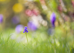 Solitude (paulapics2) Tags: grapehyacinth flower bulb spring fleur blümen flora floral blue bright colourful bokeh depthoffield nature garden outdoor alone solitute solitary canoneos5dmarkiii sigma105mmf28exdgoshsmmacro macro