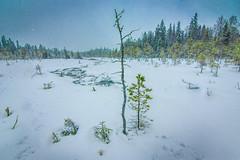 Snowing on Lähdeneva (LuonnonKuvaaja) Tags: lähdeneva lasikangas raahe finland nature swamp fountain spring bog winter snow snowing forest landscape 1116mm f28 tokina water