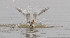 Splash...! (Mykel46) Tags: goolwasouth southaustralia australia au water splash dive bif birds nature fish fishing outside outdoors white blue red