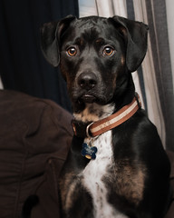 Portrait of a Solemn Dog (JLBondia) Tags: wimpy dog rescue mix mutt rescuedog blackdog labmix dogportrait portrait