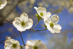 Dogwood Blossoms & Blue Skies (J.L. Ramsaur Photography) Tags: jlrphotography nikond7200 nikon d7200 photography photo cookevilletn middletennessee putnamcounty tennessee 2017 engineerswithcameras cumberlandplateau photographyforgod thesouth southernphotography screamofthephotographer ibeauty jlramsaurphotography photograph pic cookevegas cookeville tennesseephotographer cookevilletennessee dogwood flower flowers whiteflower dogwoodblossoms dogwoodflowers floweringtrees bluesky deepbluesky beautifulsky skyabove allskyandclouds nature outdoors macro macrophotography closeupphotography closeup dof depthoffield bokeh god'sartwork nature'spaintbrush rural ruralamerica ruraltennessee ruralview
