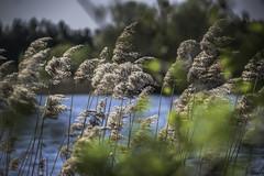 Rhythmic obscurement (Coisroux) Tags: swaying grasses reeds embankment views obscurement depthoffield reflections treelines horizon distance landscape d5500 nikond crownlakes farcet peterborough lakeside wind rythmic