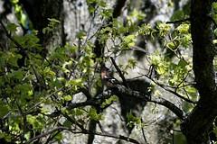 Pinson des Arbres (Patrick Carrier) Tags: commonchaffinch pinzónvulgar tentilhãocomum buchfink erdeipinty зяблик 苍头燕雀 vink fringuellocomune bofink bokfink ziębazwyczajna pinkaobyčajná pěnkavaobecná bogfinke peippo gryskoppie ズアオアトリ pinson des arbres fringilla coelebs common chaffinch