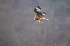 The Flying Fisherman pt. II (The Wasp Factory) Tags: redkite rotmilan milan milvusmilvus fishing breiterluzin luzinsee luzin lake feldberg feldbergerseenlandschaft mecklenburgischeseenplatte mecklenburgvorpommern mecklenburgwesternpomerania wildlife