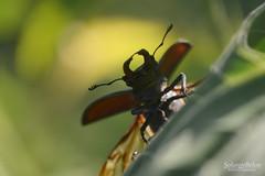 Décollage - Take off (Solange B) Tags: lucanecerfvolant lucanuscervus coléoptère beetle insecte insect marco nikon d800 105mm solangebelon solangeb