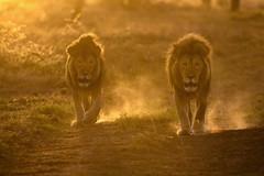 Two male lions walk to a watering hole at dawn, Ndutu, Tanzania, East Africa (diana_robinson) Tags: malelions sunrise lions lionswalking backlit dustyroad dawn ndutu tanzania eastafrica