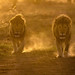Two male lions walk to a watering hole at dawn, Ndutu, Tanzania, East Africa