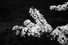 Wild & beautiful (Petr Horak) Tags: novýknín středočeskýkraj czechia cze blossom bush wild white black low key lowkey monochrome blackandwhite bw spring blooming flower petals