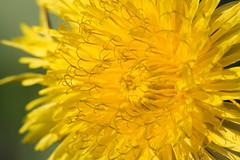 Gewöhnlicher Löwenzahn (alex.reinig) Tags: löwenzahn taraxacum gelb yellow