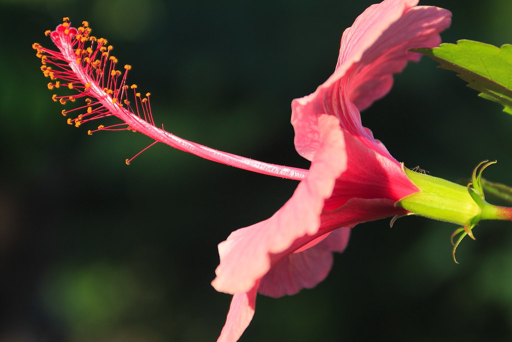 The World S Best Photos Of Hibiscus And Martinique Flickr Hive Mind