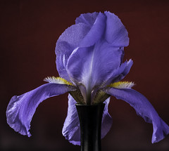 Purple Iris Against A Red Background (Bill Gracey 15 Million Views) Tags: germanbeardediris iris purple redbackground fleur flower flor offcameraflash backlit backlighting softbox tabletopphotography macrolens nature naturalbeauty