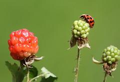 Ladybug (nuranaaba) Tags: ladybug insect photography picture blackberry plant image closeup
