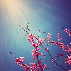 p r e t t y (Maureen Bond) Tags: ca maureenbond iphone spring colorful pink tree blossoms cherryblossoms sunshine light sunight blue rays sticks limbs pretty descanso