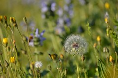 Spring grass (dfromonteil) Tags: herbe grass graminés vert green dandelion prairie printemps spring nature plants plantes fleurs flowers macro bokeh light lumière