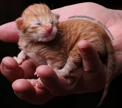 Newborn kitten, just hours old (youtube.com/utahactor) Tags: newborn kitten cat ginger yellow red orange mackerel gata gato chat pet animal youtube canon 70d promaster strobe lighting whiskers claws paws pink nose tiny tiger tail stripes ears