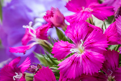 Easter Bouquet (Photo_stream_this) Tags: dianthus flowers scented stocks