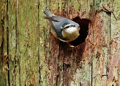 102 (2) Cleaning House (srypstra) Tags: redbreastednuthatch nest