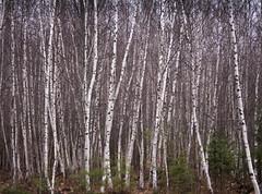 109/365: Birches