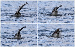 Bottlenose Dolphin - Moray Firth (Ally.Kemp) Tags: moray firth dolphins feeding salmon chanonry point scottish scotland sequence hunting free wild dolphin