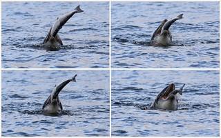 Bottlenose Dolphin - Moray Firth