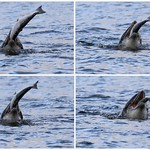 Bottlenose Dolphin - Moray Firth thumbnail