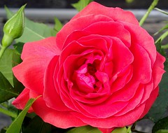 PERPIGNAN GARDEN ROSE FLOWER (patrick555666751) Tags: perpignanroseflower perpignan rose flower flor fiori fleur blumen perpinya pyrenees orientales roussillon catalogne catalunya pays catalan paisos catalans france europe europa red rouge rot rood rojo rosso 7dwf garden jardin