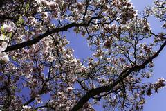 Magnolia heaven (++sepp++) Tags: magnolia magnolie tulpenmagnolie tulipmagnolia blüten blossoms baum tree sonnig sunny natur nature wilhelma stuttgart badenwürttemberg deutschland germany gegenlicht backlight backlit