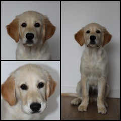 Collage 17 weeks (Mirretjuh) Tags: golden retriever dog pet link 17 weeks old 4 months sitting indoors puppy puppys pup portet growing boy male
