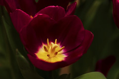 The Glow of Spring (NYRBlue94) Tags: glow spring tulip flower macro bloom red yellow pistil stamen springtime garden plant green color