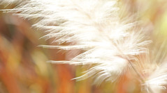 Swaying in the breeze (judith511) Tags: macromonday motionblur blur macro grass fountaingrass movementinthewind slowshutterspeed