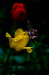 "Easter Sunday ""A"" (tuvidaloca) Tags: yellow studie blossom macro primerplano tulipán nahaufnahme desenfoqueparcial inflorescence gelb green rot flower closeup flor grün floración red makro vistadecerca tulpe bokeh blütenstand inflorescencia infloreszenz dof blütezeit rojo heyday estudio bokehextreme tulip blüte apogeo amarillo study tulpen desenfoque tulips verde"