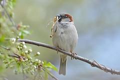 House Sparrow ♂ (Passer domesticus) Горобець хатній