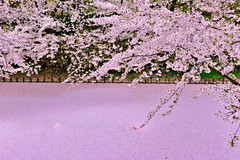 花漾水漾(DSC_9077) (nans0410(busy)) Tags: japan aomori hirosakicastle hirosakicity sakura cherry pinkcolor river scenery outdoors spring blossom 日本 青森縣 弘前市 弘前城 櫻花 春天 吉野櫻 護城河