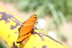 Borboleta bairro São João JM - Wir Caetano - 26 04 2017 (30) (dabliê texto imagem - Comunicação Visual e Jorn) Tags: borboleta inseto amarelo escada ferrugem