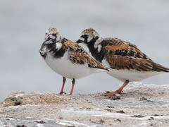 Ruddy Turnstone (Two Cats Productions) Tags: