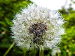Dew drops on a Dandelion (uk_dreamer) Tags: dandelion flower seed delicate nature natur closeup detail dew drops bokeh dof depthoffield macro