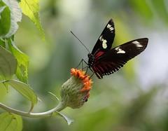 Doris Longwing Butterfly (vischerferry) Tags: longwing dorislongwing flower orangeflower panama rainforest discoverycenter explore