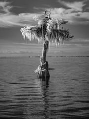 Lone cypress and Osprey (Ed Rosack) Tags: cypress usa landscape calm water bluecypresslake ©edrosack lake florida infrared 25hawkskiteseaglesandallies cloud bird sky centralflorida osprey tree blackandwhite bw cloudy ir ospr pandionhaliaetus verobeach panorama nature