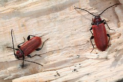 Pyrrhidium sanguineum, callidies sanguines. (chug14) Tags: animalia longicorne arthropoda hexapoda insecta coleoptera cerambycidae callidierouge callidiesanguine pyrrhidiumsanguineum