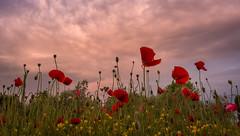We will remember them (lizcaldwell72) Tags: poppy sky hawkesbay newzealand sunset wildflowersculpturegarden light