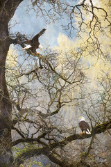Dinner in the Canopy (Angie Vogel Nature Photography) Tags: eagles baldeagles oaktree nature wildlife raptor birdofprey ridgefieldnationalwildliferefuge