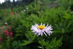 Subalpine Daisy (Sean Munson) Tags: flower plant washington hiking nationalpark mountrainiernationalpark subalpinedaisy daisy