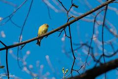 Pretty yellow finch (JimLaderoute) Tags: birds finch yellow bluesky
